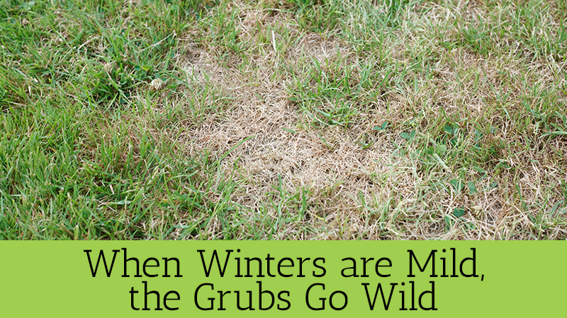 Grubs Lawn Care Prevention Central Ohio Meyers Green Services Lanscape