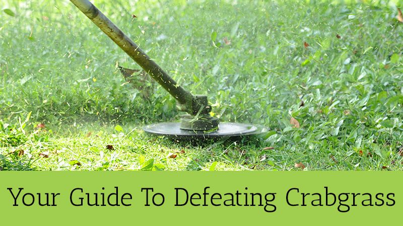 Defeating Crabgrass Central Ohio Columbus Lewis Center Lawn Care Company